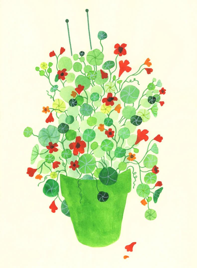 Sanne Bruinsma Illustraties & Vormgeving oost indische kers illustratie plant tekening schetsboek botanisch